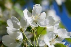 Blommande vita blommor för äppleträd Moget frö av granatäpplet Royaltyfri Fotografi