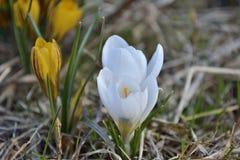 Blommande vita krokusar för vår Arkivbilder