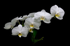 Blommande vita orkidér på en svart bakgrundscloseup Royaltyfri Bild