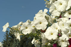 Blommande vita petunior mot himlen Royaltyfria Bilder