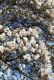 Blommande vitt magnoliatr?d Closeup av filialer och blommor royaltyfria bilder