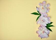 Blommande vitt pionhuvud Arkivbilder