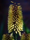 Blommandestrålningsblommande aloe i härlig skönhet Royaltyfri Bild