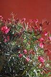blommaoleanderpink Arkivfoto