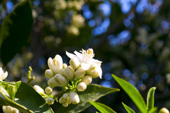 blommaorange Royaltyfri Fotografi