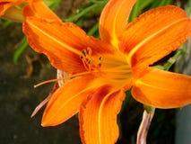 blommaorange Royaltyfria Foton