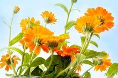 blommaorange Fotografering för Bildbyråer