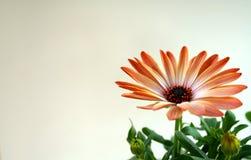 blommaorangefjäder Royaltyfri Bild