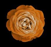 blommaorangen steg svart isolerad bakgrund med den snabba banan Natur Closeup inga skuggor Arkivbilder