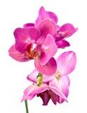 blommaorchid fotografering för bildbyråer