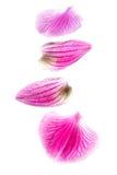 blommaorchidpetals Arkivfoton