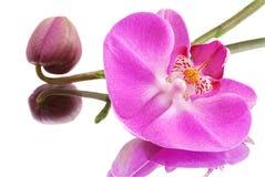 blommaorchidpink Arkivbilder
