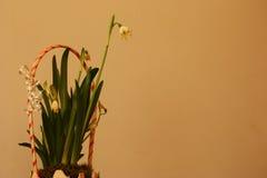 Blommaordning med snödroppar, Galanthus nivalis, closeupsikt Arkivfoton