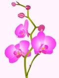 blommaorhid Royaltyfri Fotografi