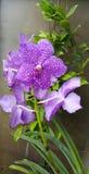 Blommaorkidé i trädgård Royaltyfri Fotografi