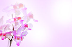 Blommaorkidér Royaltyfri Bild