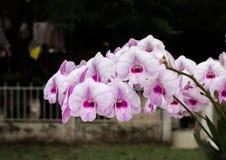 Blommaorkidér som är härliga i Thailand Arkivbild