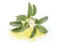 blommaosmanthus royaltyfri fotografi