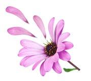 Blommaosteospermum med purpurfärgade stupade petals. Fotografering för Bildbyråer