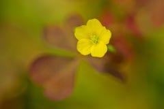 blommaoxalis Fotografering för Bildbyråer