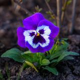 Blommapansies Arkivbilder