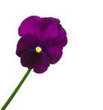 blommapansy Arkivfoto