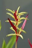 Blommapapegoja Heliconia Royaltyfri Bild