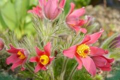 blommapasque Arkivfoto