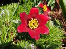 Blommapasqueflower Arkivbilder
