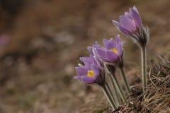 blommapasquepulsatilla Arkivbild