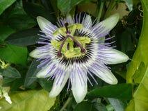 blommapassionfruit royaltyfri fotografi