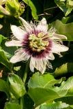 blommapassionfruitvine Fotografering för Bildbyråer