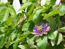 blommapassionvine Royaltyfri Bild