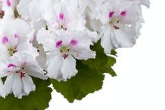 blommapelargon Royaltyfri Fotografi