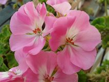 Blommapelargon Arkivbilder