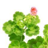 blommapelargonpink fotografering för bildbyråer