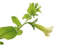 blommapendulapetunia Fotografering för Bildbyråer