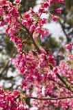 blommapersika Royaltyfri Fotografi