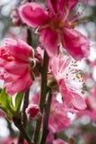 blommapersika Arkivfoton