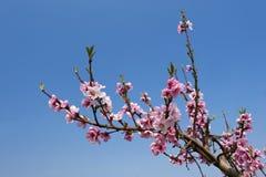 blommapersika Royaltyfria Bilder
