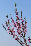 blommapersika Royaltyfri Bild