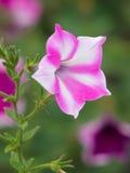 blommapetunia Arkivbilder