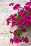 blommapetunia Royaltyfri Fotografi