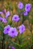 Blommapetunia som blommar i trädgården Arkivfoto