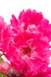 blommapink Royaltyfri Foto