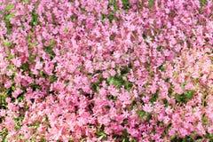 blommapink Royaltyfria Bilder