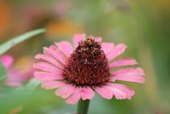 blommapink arkivfoton
