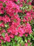 blommapink för 4 bougainvillea Fotografering för Bildbyråer