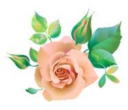 blommapinken steg Arkivfoton