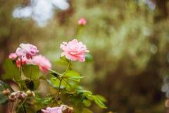 blommapinken steg royaltyfri bild